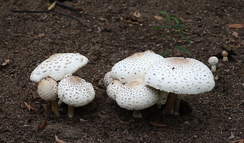 Chlorophyllum molybdites. Imagen de Laitche, en la Wikipedia. Laitche [CC BY-SA 3.0 (http://creativecommons.org/licenses/by-sa/3.0) or FAL], via Wikimedia Commons