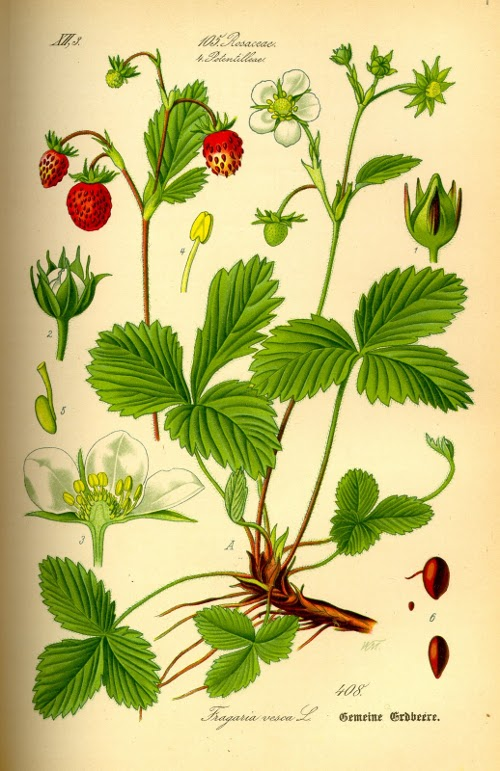 Illustration_Fragaria_vesca0